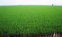 Paddy field in asia country. Green Paddy field in asia country Stock Photos