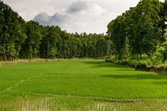 Paddy field of Assam during last monsoon royalty free stock image