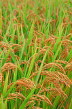 Paddy field in autumn Stock Photography
