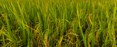Paddy field background. A larger paddy field in selangor was this one at sekinchan royalty free stock images
