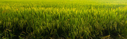 Paddy field background. A larger paddy field in selangor was this one at sekinchan stock images