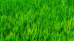 Paddy Field Background or Texture. Leaf blades from a paddy field from Alappuzha, for use as background or texture Stock Photos