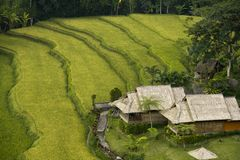 Paddy Field, Bali Royalty Free Stock Image