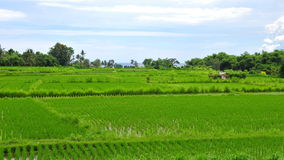 Paddy field in Bali Royalty Free Stock Image