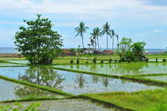 Paddy field in Bali Royalty Free Stock Photography