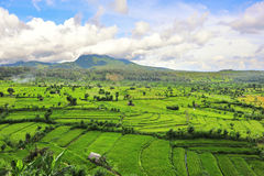 Paddy field in Bali Royalty Free Stock Images