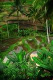 Paddy Field Bali Stock Image