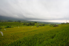 Paddy Field in Bali Indonesia Royalty Free Stock Images