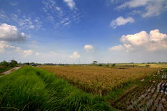 Paddy Field in Bali Indonesien Stockfotos