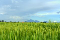 Paddy Field in Bali Stock Photography