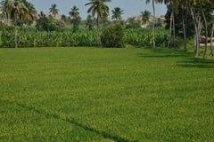 Paddy Field banankoloni, kokospalmer - Karnataka, Indien Arkivfoton
