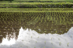 Paddy field with bank Royalty Free Stock Photos