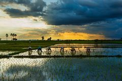 Paddy field Beautiful landscape thailand Rice Fields Sunrise Sunset blur. Thailand rice farmers planting season for household consumption and for income of the stock photography