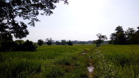 Paddy field beauty Royalty Free Stock Images