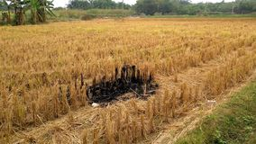 Paddy field after being harvested stock video