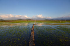 Paddy field with blue sky Royalty Free Stock Photos