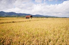 Paddy field in brenggong village purworejo indonesia. A small hut in Paddy field in brenggong village purworejo indonesia Stock Photos