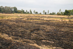 paddy field burned by fire Stock Photos