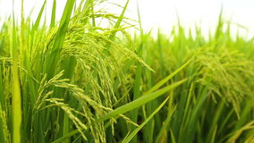 Paddy field stock video