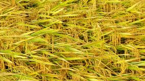 Paddy. Field closeup Royalty Free Stock Photography