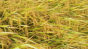 Paddy. Field closeup Stock Photos
