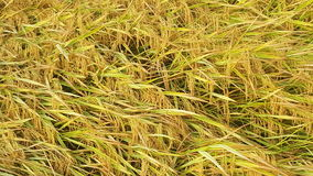 Paddy. Field closeup Royalty Free Stock Images