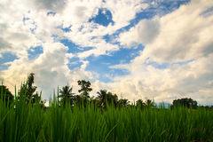 Paddy field  cloudy sky Stock Image