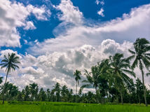 Paddy field with coconut trees and beautiful cloud formation Royalty Free Stock Photography