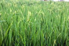 Paddy Field couvert de rosée vert photos libres de droits