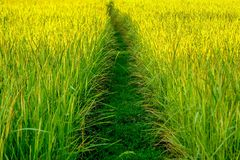 Paddy field with dirt pathway Stock Photos