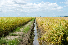 Paddy Field and Ditch, Sekinchan, Malaysia Stock Photo
