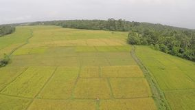 Paddy field drone video clip stock footage
