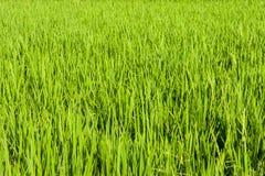 Paddy Field e prato verdi fotografie stock