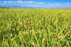 Paddy field in the Ebro Delta, in Catalonia, Spain Stock Image