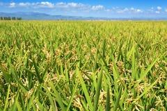 Paddy field in the Ebro Delta, in Catalonia, Spain Stock Image