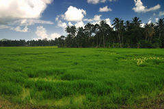 Paddy field in the evening Royalty Free Stock Image