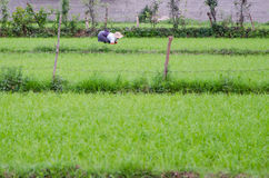 Paddy field and a farmer. Planting rice Royalty Free Stock Photography