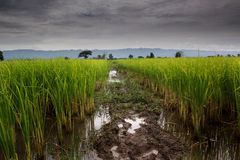 Paddy field. A paddy field is a flooded parcel of arable land used for growing semiaquatic rice. Paddy cultivation should not be confused with cultivation of Stock Photo