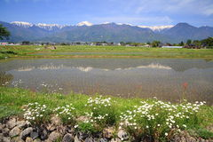 Paddy field and flower Royalty Free Stock Images