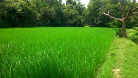 Paddy Field. A field of fully grown rice and paddy Stock Photo