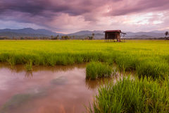 Paddy field on a gloomy day in Sabah, Malaysia, Borneo Stock Images