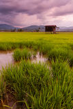 Paddy field on a gloomy day in Sabah, Malaysia, Borneo Stock Photography