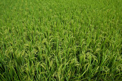 Paddy field with grain about to ripen Stock Photography