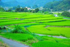 Paddy Field, Grassland, Field, Agriculture stock photos