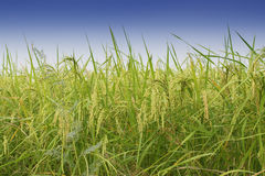 Paddy field, green agriculture land, India Royalty Free Stock Image