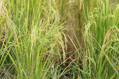 Paddy field, green agriculture land, India Stock Image
