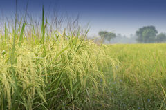 Paddy field, green agriculture land, India Stock Photo