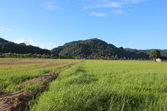 Paddy field. Green paddy field with blue sky Royalty Free Stock Images