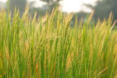 Paddy field. A green Paddy field in Chaibasa, Jharkhand,India royalty free stock photo