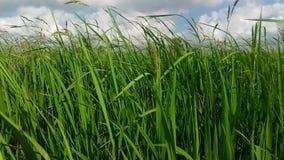 Paddy field. greeny. jaffna stock photography